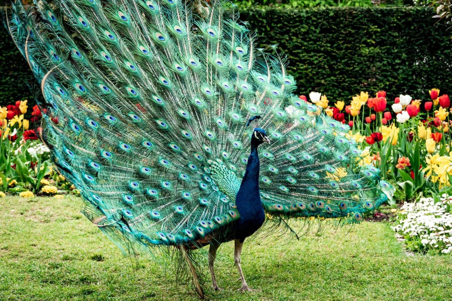 Peacock in Holland Park