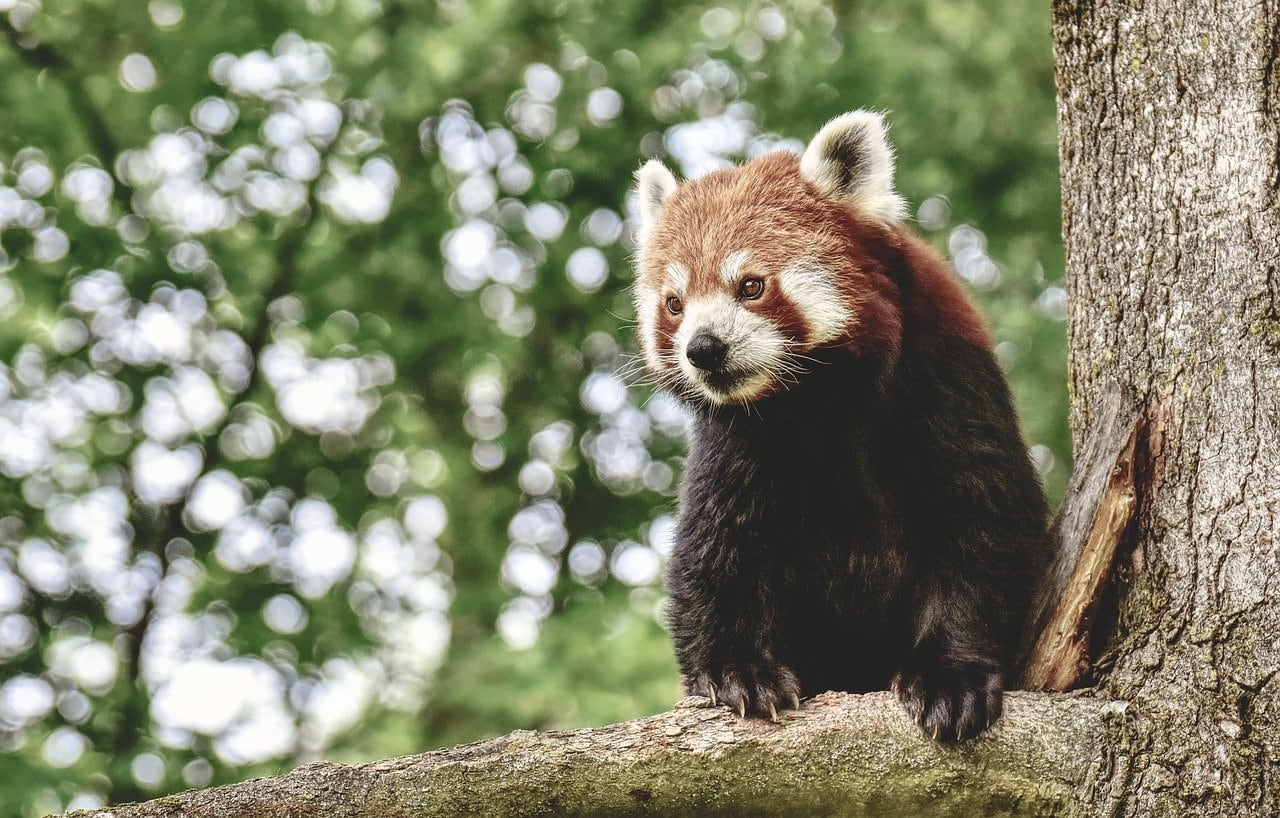 Red Panda at Auckland Zoo New Zealand