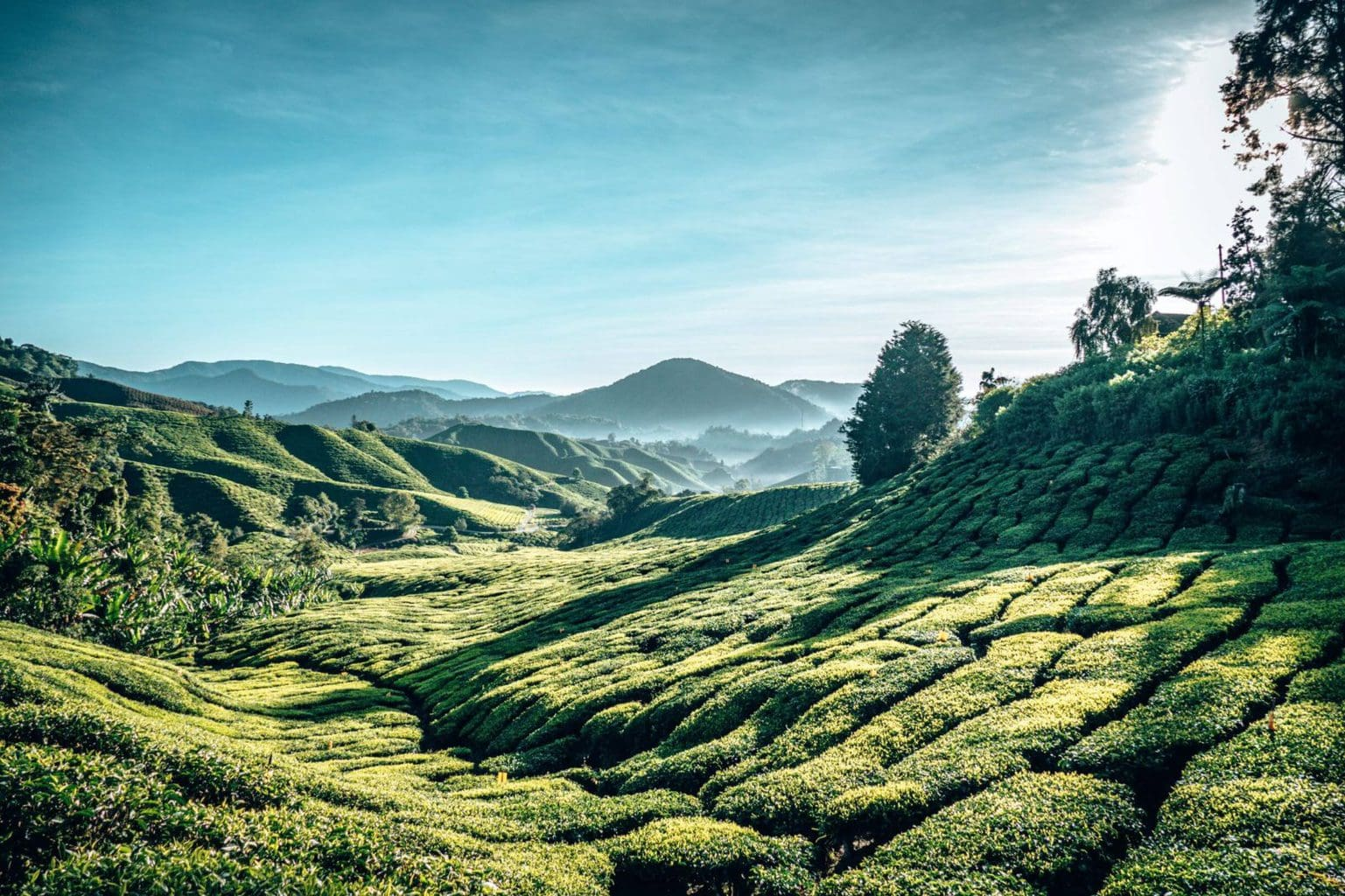 Cameron Highlands BOH tea plantation